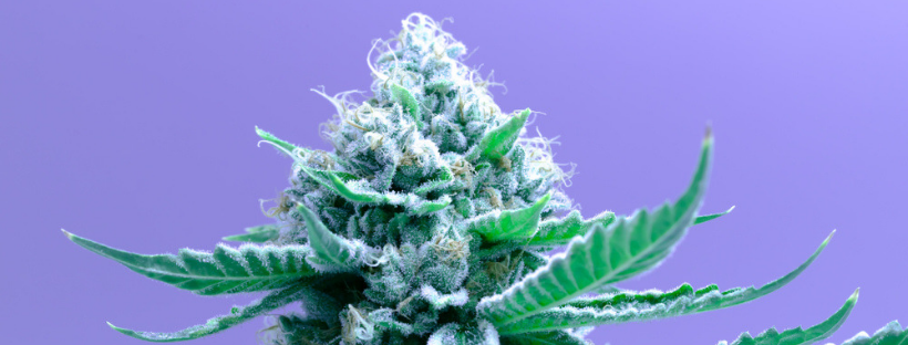 Best Indica Strains To Try