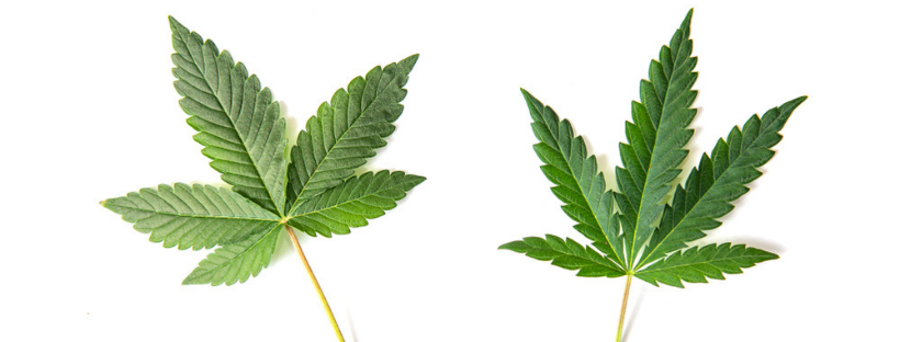 Indica vs. Sativa What's the Difference