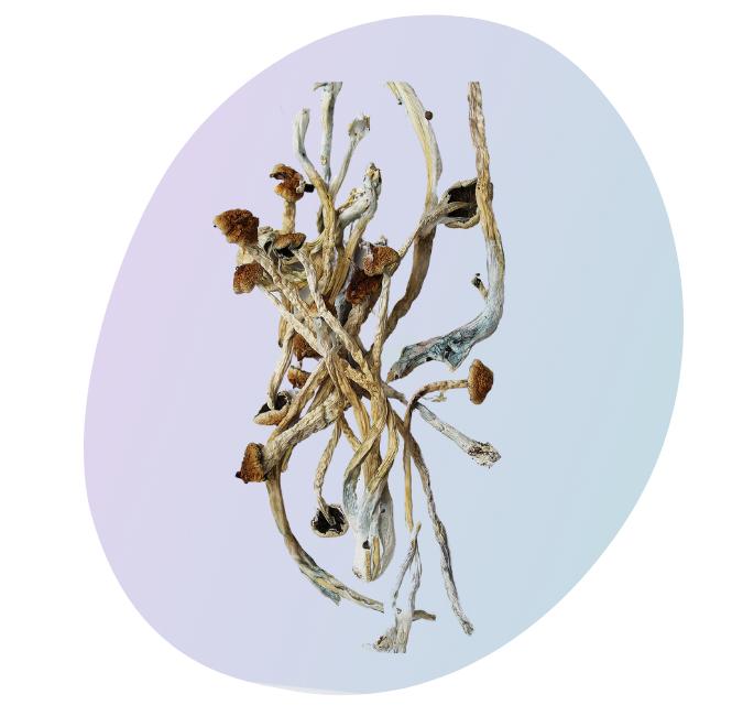 Goldie Locks is considered a potent magic mushroom.