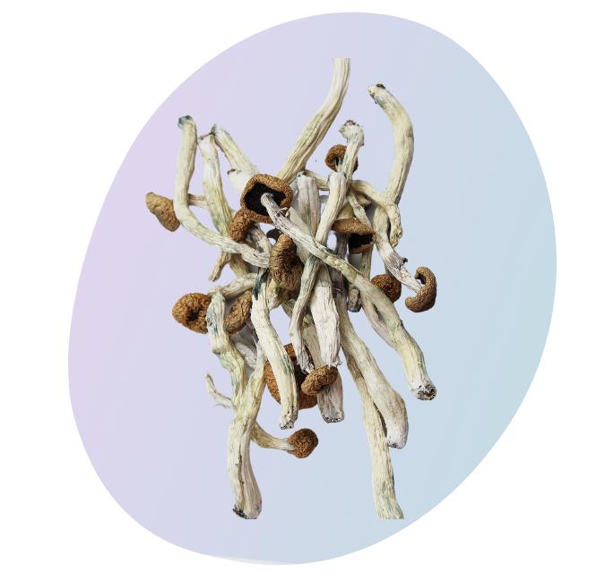 Avalanche magic mushroom Canada | CBD & Shrooms