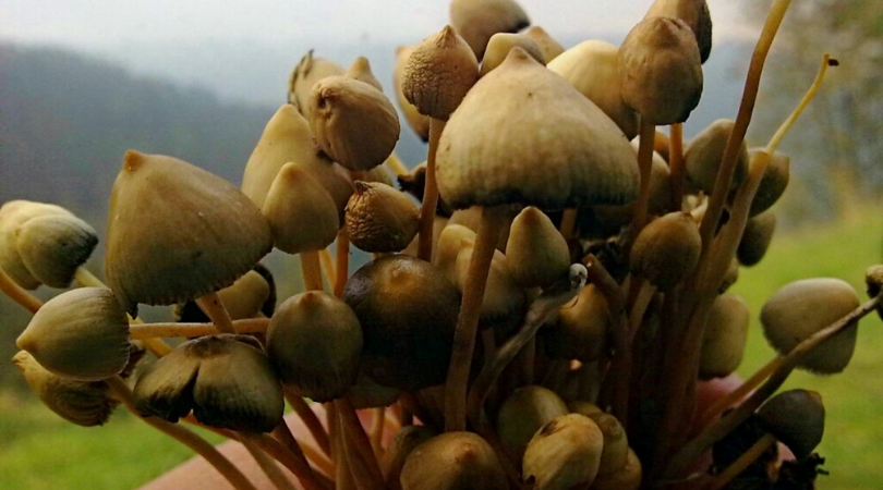 Magic Mushroom Dosage Guide 1