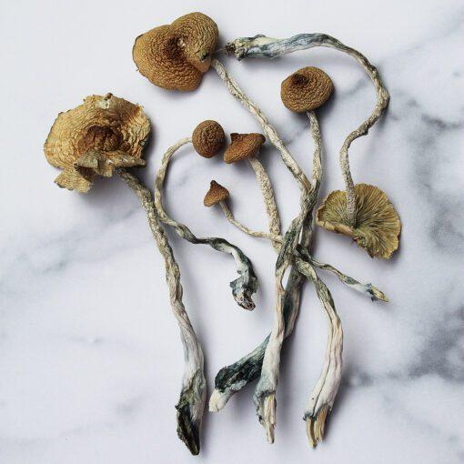 SyZyGy Magic Mushrooms   CBD & Shrooms Canada