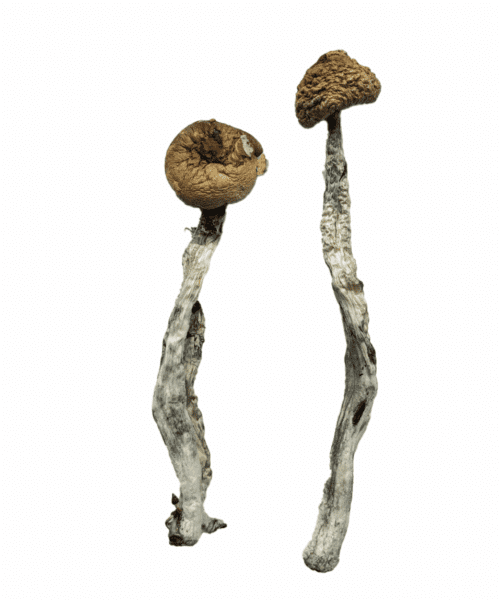 Z Strain Magic Mushrooms Psilocybin