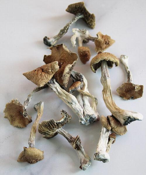 Huautla Magic Mushroom Psilocybin