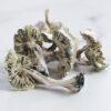Avery's Albino Magic Mushroom Psilocybin
