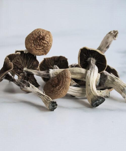 Orissa India Magic Mushroom Psilocybin