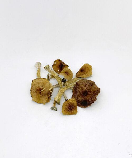 Ecuadrorian Magic Mushrooms Psilocybin