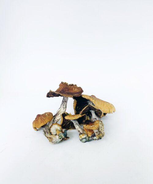 Fijian Magic Mushrooms Psilocybin